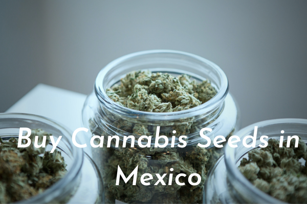 Buy Cannabis Seeds in Mexico