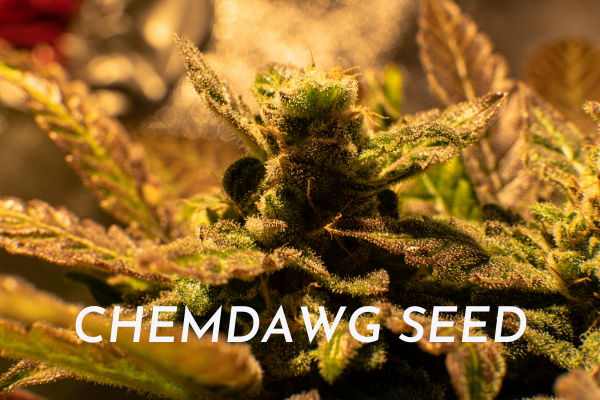 CHEMDAWG SEED