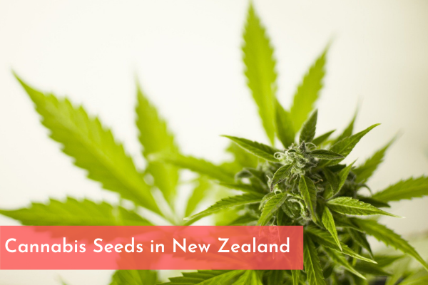 Cannabis Seeds in New Zealand