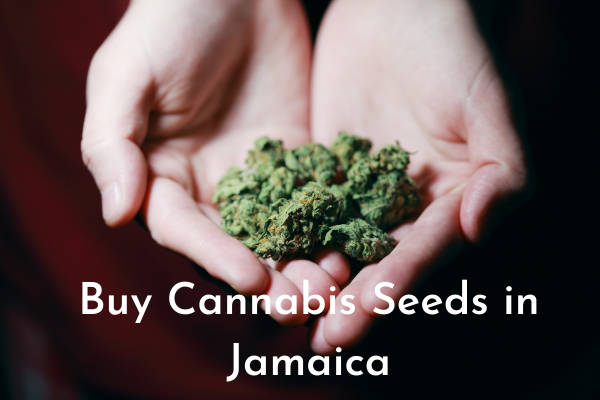 Buy Cannabis Seeds in Jamaica